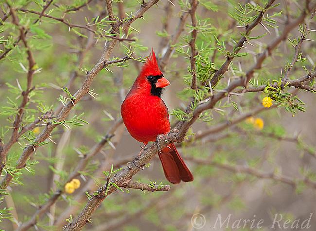 Northern Cardinal (Cardinalis cardinalis), male perched amid flowering Huisache (Acacia farnesiana), Rancho Santa Clara, Rio Grande Valley, Texas, USA