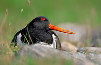 Oystercatcher Haematopus ostralegus L 43cm. Distinctive wader with striking black and white plumage and loud alarm call. Powerful bill used to hammer molluscs off rocks. Sexes are similar. Adult in summer has black upperparts and white underparts with clear demarcation between the two on breast. Note red bill, pinkish legs and beady red eye. In winter, similar but note white half-collar. Juvenile is similar to summer adult but black elements of plumage are brownish and bill and leg colours are subdued. Voice Utters a loud, piping peep call. Status Breeds commonly on coast and beside inland lakes and rivers in N. Mainly coastal in winter, favouring estuaries and mudflats.