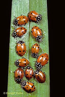 1C01-065z  Convergent Ladybugs on leaf, Hippodamia convergens