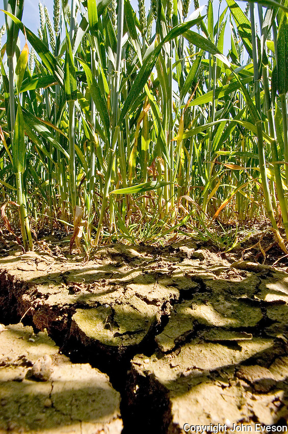 Cracked earth, dry weather, heavy land, wheat crop.