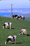 Dairy cattle at Point Reyes