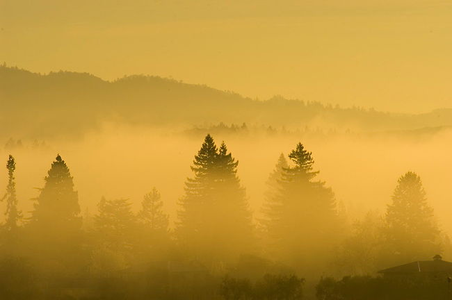 Fog shrouds trees in sunrise over St. Helena