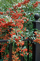 Pyracantha 'Mojave' firethorn climbing vine on wrought iron black fence in orange berry