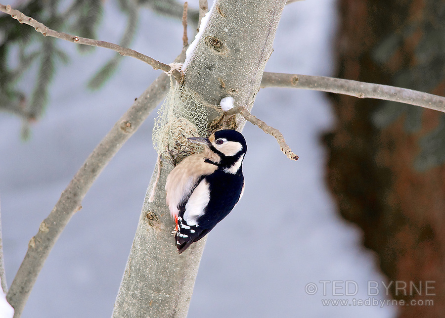 Great Spotted Woodpecker hanging from seed feeder  (female)