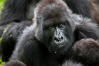 An adult female looks at the camera in the jungle of Rwanda's Virunga Mountains. Each gorilla has a unique nose print similar to our unique finger prints. Researchers use the nose to identify individuals within the family group.