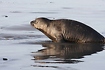 elephant seal weaner moving down beach