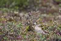 Rock ptarmigan in wildflowers, Utukok Uplands, National Petroleum Reserve Alaska, Arctic, Alaska.