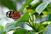 A Numata Longwing sitting on a green leaf its bright orange wings with black and white markings and its striped body are highlighted by a multi-colored green background. The probiscus, body, eyes, antenae are prominent. The Numata Longwing is known for its mimicry and varies tremendously in coloring and markings.