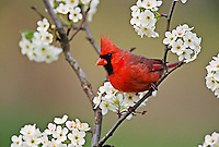 Male Northern Cardinal among pear tree blossoms.Kentucky.Cardinalis cardinalis..Male Northern Cardinal among pear tree blossomsKentuckyCardinalis cardinalis.Male Northern Cardinal among pear tree blossomsKentuckyCardinalis cardinalis.Male Northern Cardinal among pear tree blossoms.Kentucky.Cardinalis cardinalis