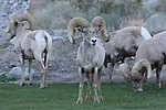 rams, desert bighorn sheep
