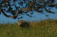 Bobcat Stalking in Yosemite, Calif.