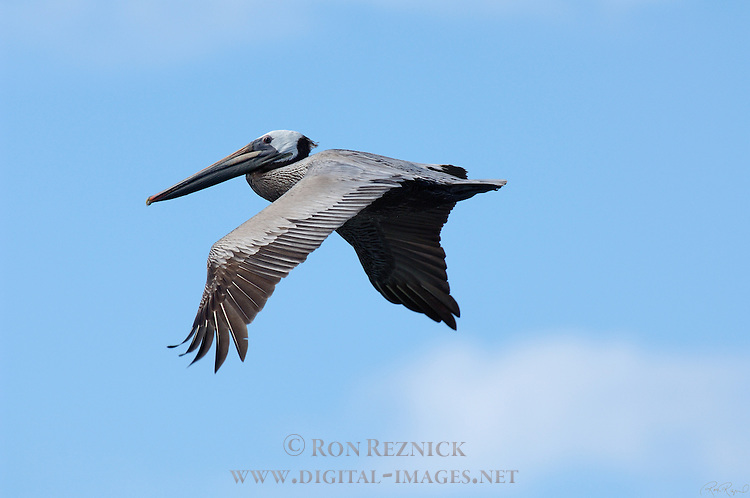 Brown Pelican in Flight, Bolsa Chica Wildlife Refuge, Southern California