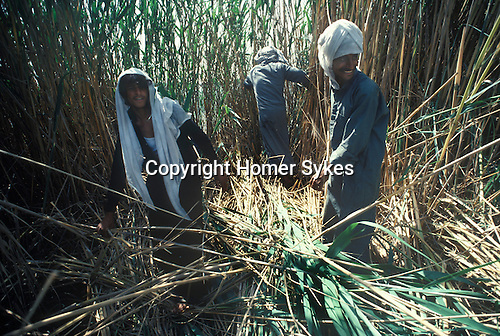 Marsh Arabs. Southern Iraq. Circa 1985. Marsh Arab men cutting reeds. Haur al Mamar or Haur al-Hamar marsh collectively known now as Hammar marshes Irag 1984