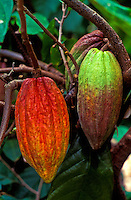 Cacao pods, used in making chocolate, still hanging on tree at Hodges Cacao Farm, Kona, Big Island