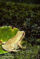 FR01-004x  Spring Peeper Tree Frog - on forest floor in spring rain -  Pseudacris crucifer, formerly Hyla crucifer