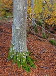Western Highlands, Scotland:<br /> Fall colors of the beech forest floor above the river Moriston, Invermoriston