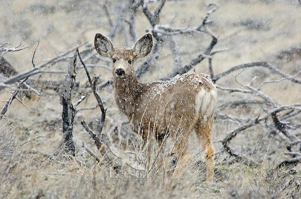 Mule deer doe--last summers fawn, about 10 months old (Odocoileus hemionus).  Western U.S., Spring snowstorm..