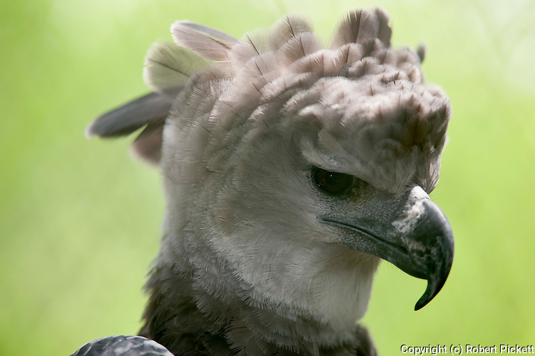Harpy Eagle, Harpia harpyja, Panama, Central America, Captive, Neotropical species of eagle. It is sometimes known as the American Harpy Eagle, IUCN Red List, Near Threatened