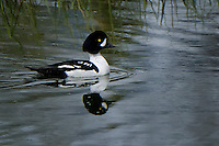 Barrow's Goldeneye, Tetons National Park, Wyoming