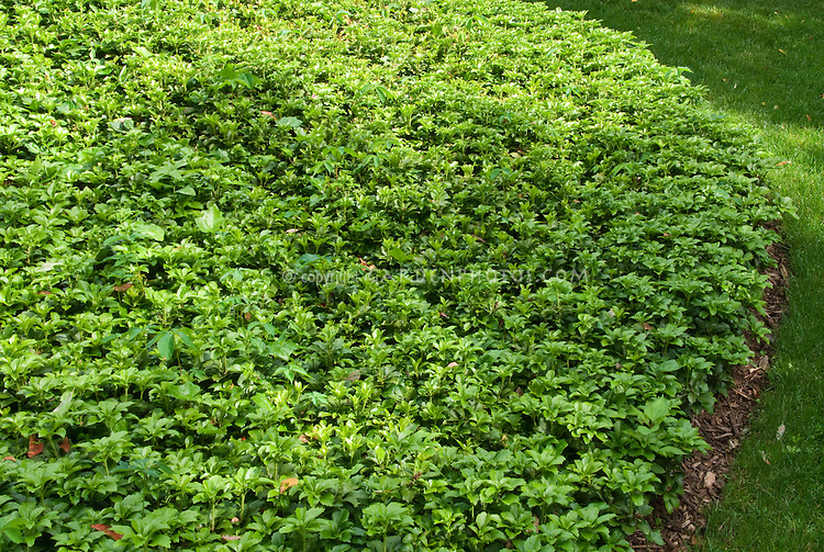 pachysandra terminalis plant flower stock photography. Black Bedroom Furniture Sets. Home Design Ideas