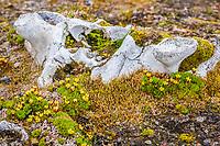 Atlantic walrus, Odobenus rosmarus rosmarus, bones from early slaughter at Kapp Lee, Edgeoya, Svalbard, Norway