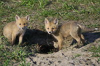 Couple of Red Fox Kits outside of their den in the early morning light