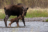 Mother (cow) moose (Alces alces andersoni) reassures and encourages her calf to cross the water.