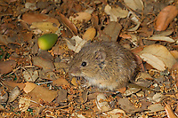 Common Vole - Microtus arvalis