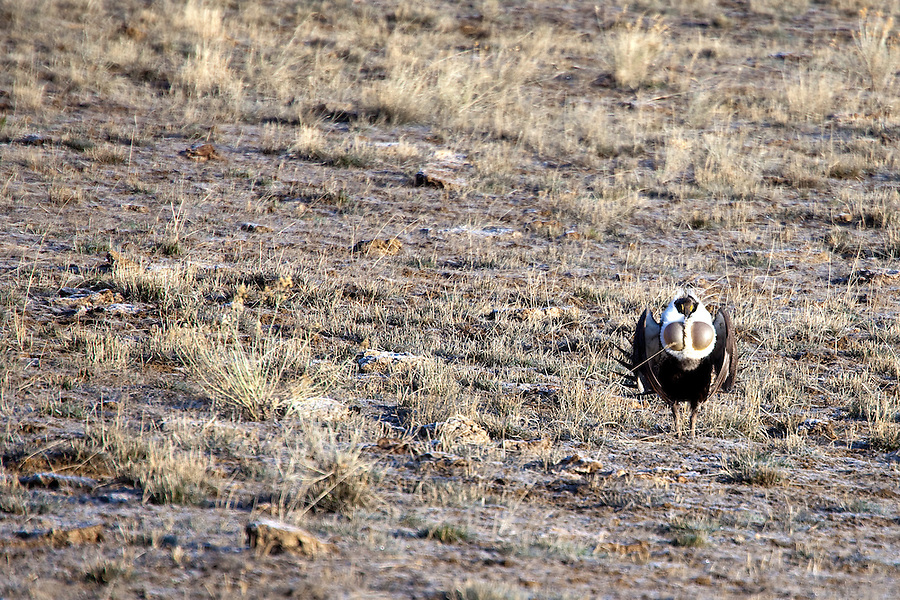 During mating season, confrontation is inevitable for the greater sage-grouse (Centrocercus urophasianus). A once-abundant bird emblematic of the wide open spaces of the West, it is now gone from nearly half of its original range, with steady declines occurring in Colorado and neighboring states. It is the largest grouse in North America. Recent studies have confirmed that oil and gas drilling activities, which have increased dramatically across the Intermountain West in the past decade, are disturbing sage-grouse breeding and nesting sites and leading to population declines in Wyoming, Colorado, Utah, and other Western states. In addition to drilling in the area, threats also include destruction of sagebrush habitat due to sprawl, agricultural conversion, and wildfire. The U.S. Fish and Wildlife Service estimated that sage-grouse populations have declined between 69 and 99 percent from historic levels.