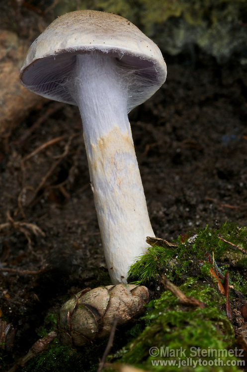 Close-up of a young Cortinarius mushroom, showing the cobwebby cortina on the underside of the cap--for which this genus is distinctive-- breaking away to reveal lilac colored gills. A hemlock cone lies at its base. Clear Creek Metro Park, Hocking County, Ohio, USA.