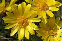 Frühlings-Adonisröschen, Frühlingsadonisröschen, Adonisröschen, Frühlings-Adonis, Adonis vernalis, pheasant's eye, spring pheasant's eye, yellow pheasant's eye, false hellebore, spring adonis, L'Adonis de printemps