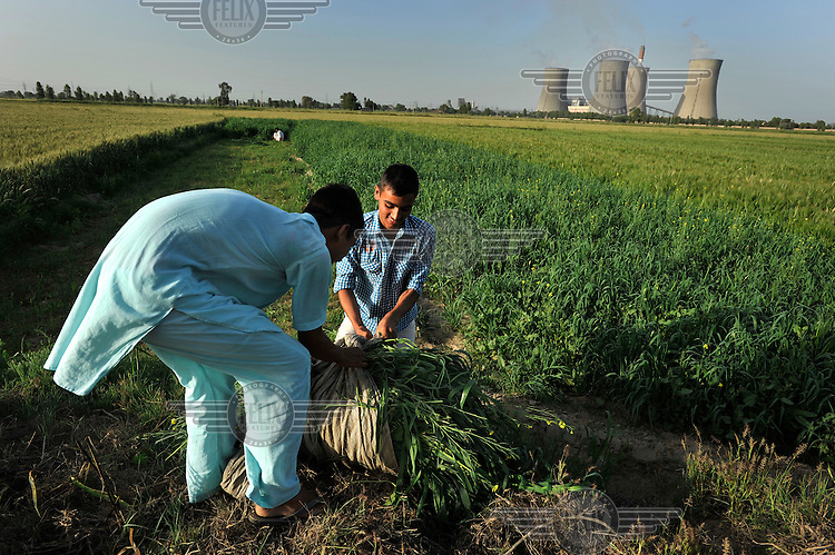 Young farmers tie a bundle of grass after collecting it in a field near the Guru Hargobind Thermal Power Plant. Some of the output of ash from the coal burnt in the plant escapes into the air and has been speculatively linked to health problems in the area, as well as affecting crops.