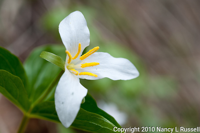 The White Trillium has 3 leaves, 3 petals and 6 stamens