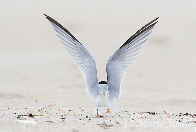 Least Tern (Sternula antillarum) rear view with raised wings, Massachusetts, USA