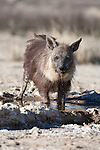 Brown hyena, Hyaena brunnea, drinking, Kgalagadi Transfrontier National Park, Northern Cape, South Africa