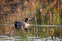 A blue-winged teal swims in a wetland on the American Prairie Reserve near Portman, Montana.