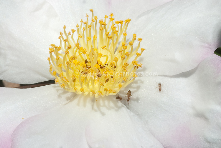 Camellia sasanqua 'Hanajiman' aka Hana Jiman Camellia in white and pale pink autumn flower, closeup of pollen and stamens and insect pollinators educational textbook