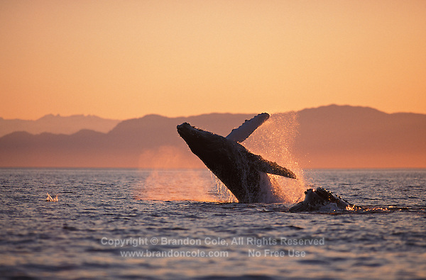 mi26. Humpback Whales (Megaptera novaeangliae) breaching at sunset. Alaska, USA, Pacific Ocean..Photo Copyright © Brandon Cole. All rights reserved worldwide.  www.brandoncole.com