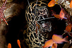 Blackspotted moray eel (Gymnothorax favagineus) with a cleaner shrimp.