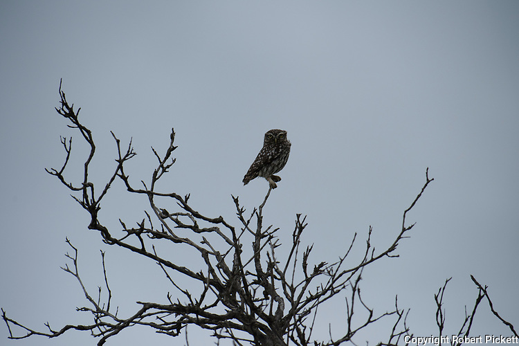 Little Owl, Athene noctua, Ria Formosa East, Algarve, Portugal, perched high in tree,