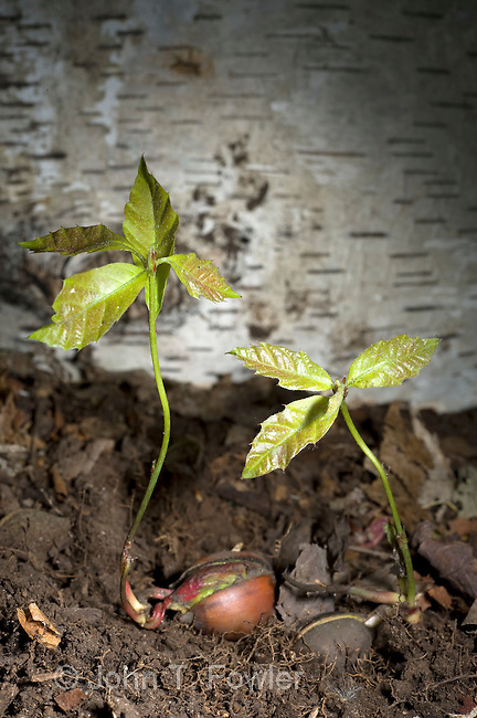 Northern Red Oak seedling, acorn sprouting, Quercus rubra