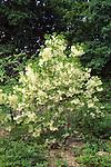 9223-CA White Fringe Tree, Chionanthus virginiacus, multi-trunked, at Minnesota Landscape Arboretum