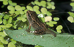 Common Frog, Rana Temporaria, UK, Froglet with short stumpy tail, sitting on leaf on pond