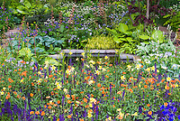 Lush garden scene with strong colors, orange, puple, yellow, garden chair, shrubs, peony Paeonia, Aquilgeia columbine, Geum, Salvia, Geranium, with foliage plants Hakonechloa ornamental grass,, Hostas