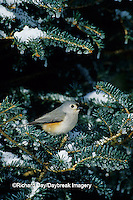 01298-02714 Tufted Titmouse (Baeolophus bicolor) in fir tree in winter, Marion Co.  IL