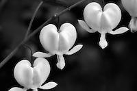 White Bleeding Heart,Dicentra spectabilis 'Alba'