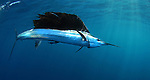 A free swimming sailfish heading southbound.