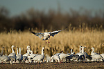 A snow goose lands in cornfield among his flock at Bosque del Apache National Wildlife Refuge, New Mexico, December 17, 2007.  Photo by Gus Curtis.