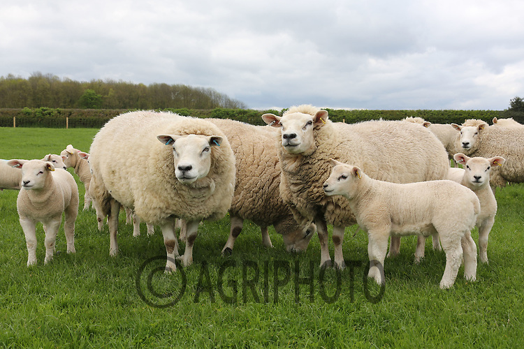 Pedigree Texel Ewes with lambs at foot