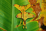 Comet or moon moths rest on a banana leaf, Madagascar